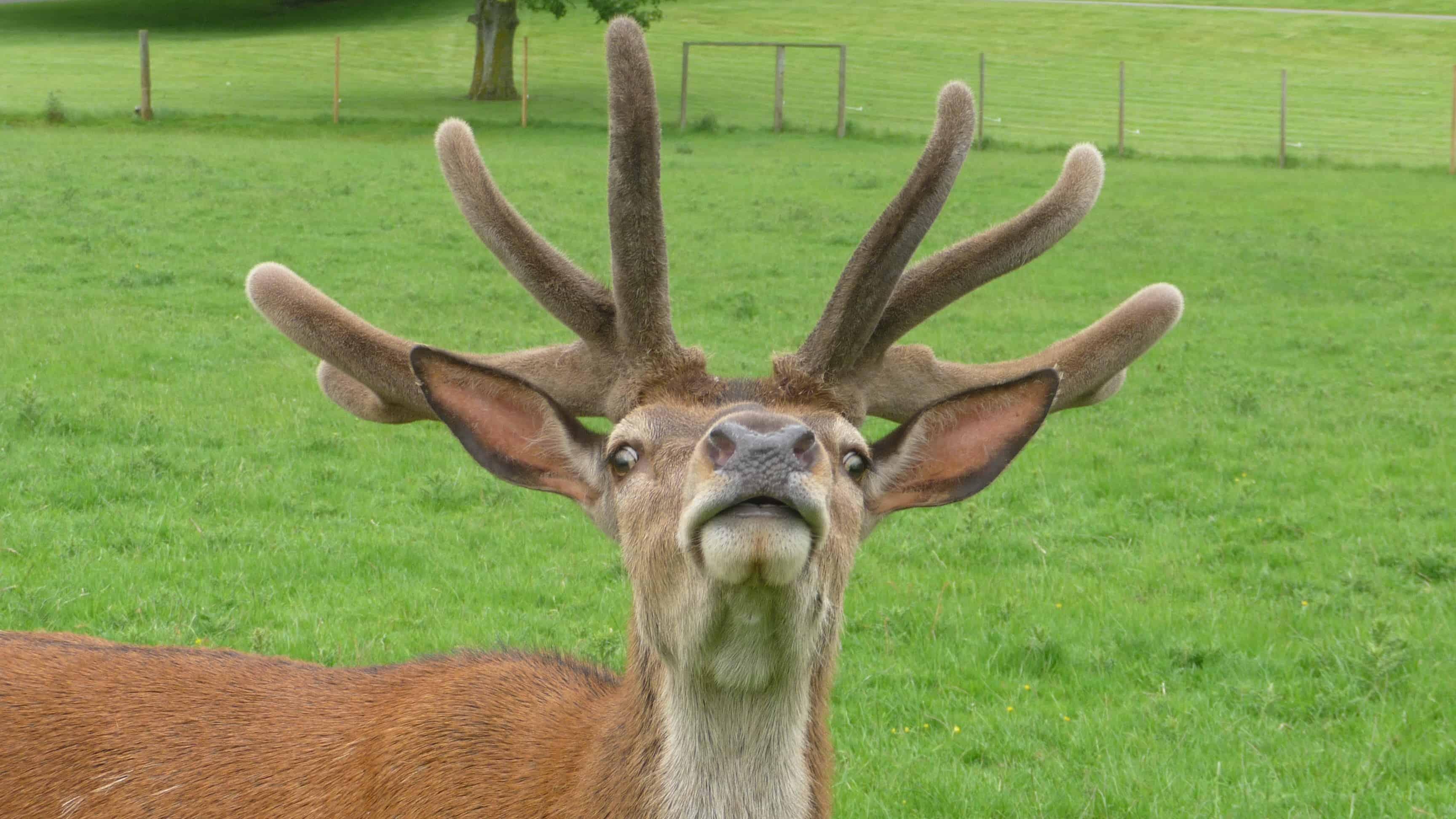 St Audries Park Deer